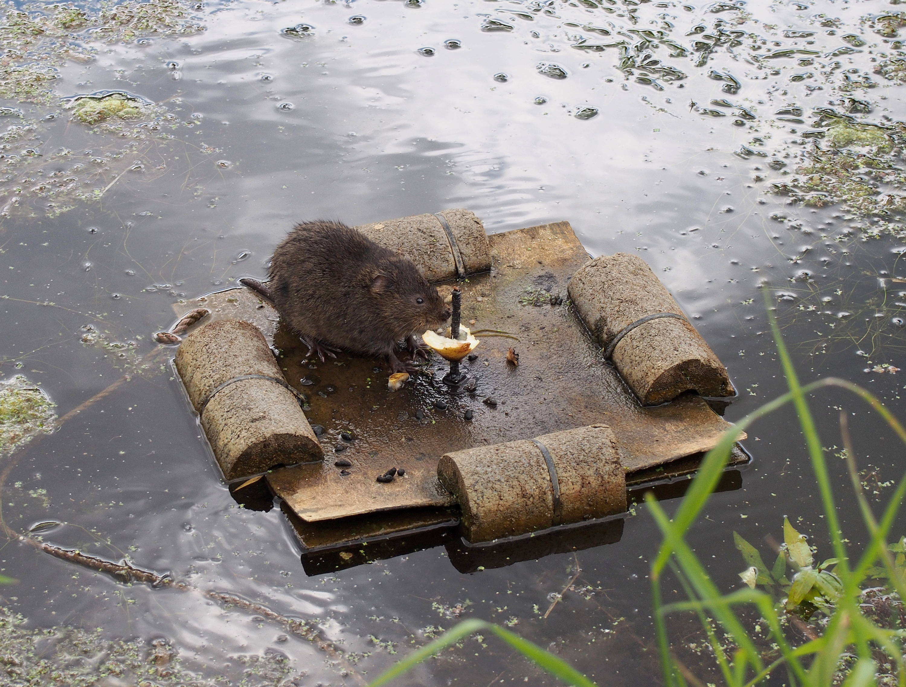 Endangered water vole, Gwent Levels, Wales. Photo: Julian Hoffman.