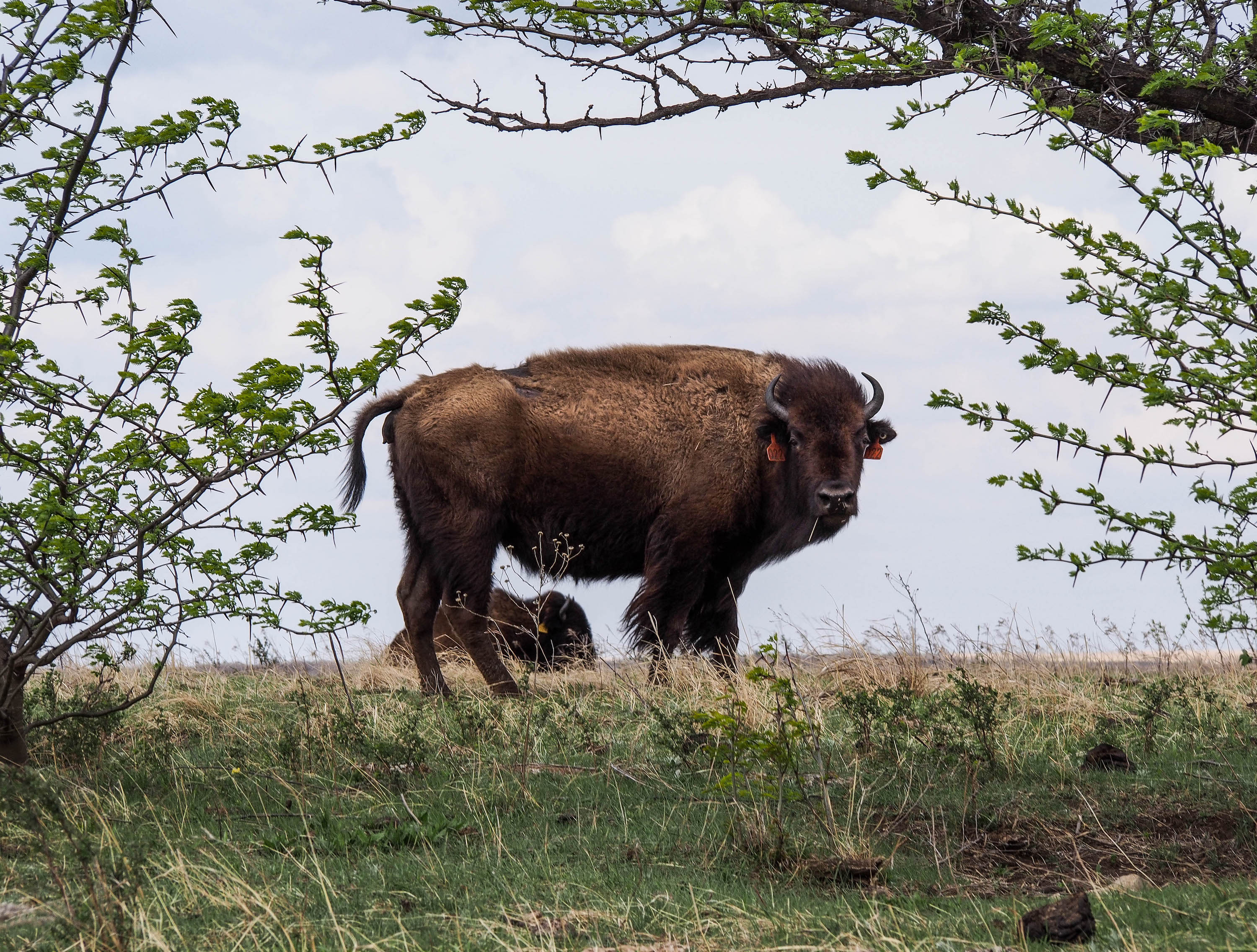Restored bison, Konza Prairie, Kansas. Photo: Julian Hoffman.